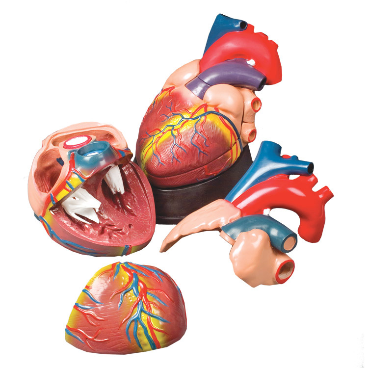 Budget Jumbo Heart Model - MedWest Medical Supplies