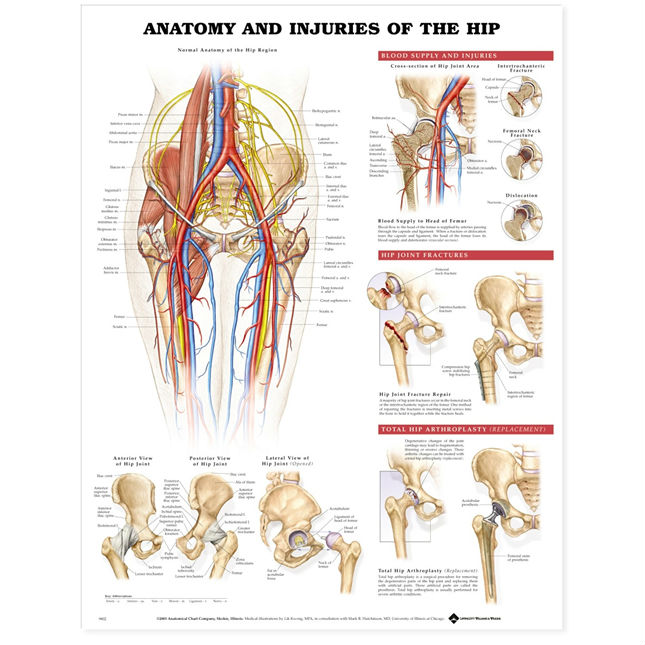 Anatomy And Injuries Of The Hip Chart Medwest Medical Supplies