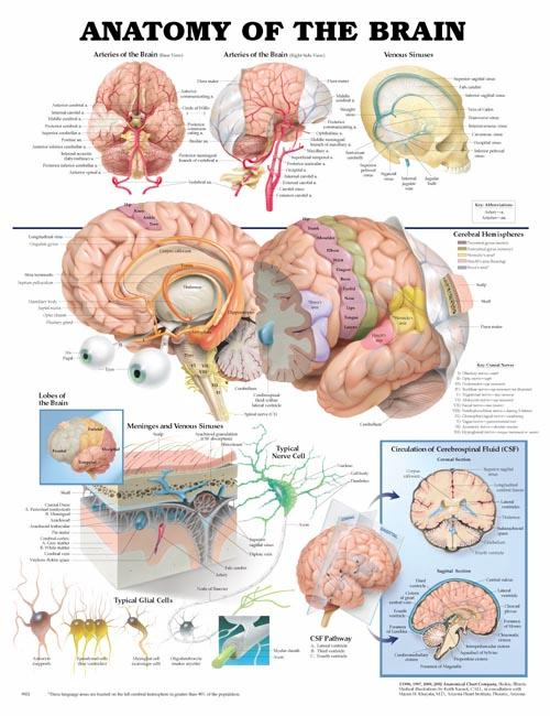 Anatomy Of The Brain Chart Medwest Medical Supplies