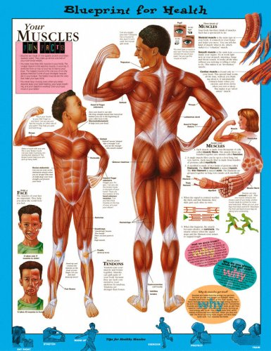 Blueprint for health your muscles chart medwest medical supplies blueprint for health malvernweather Images