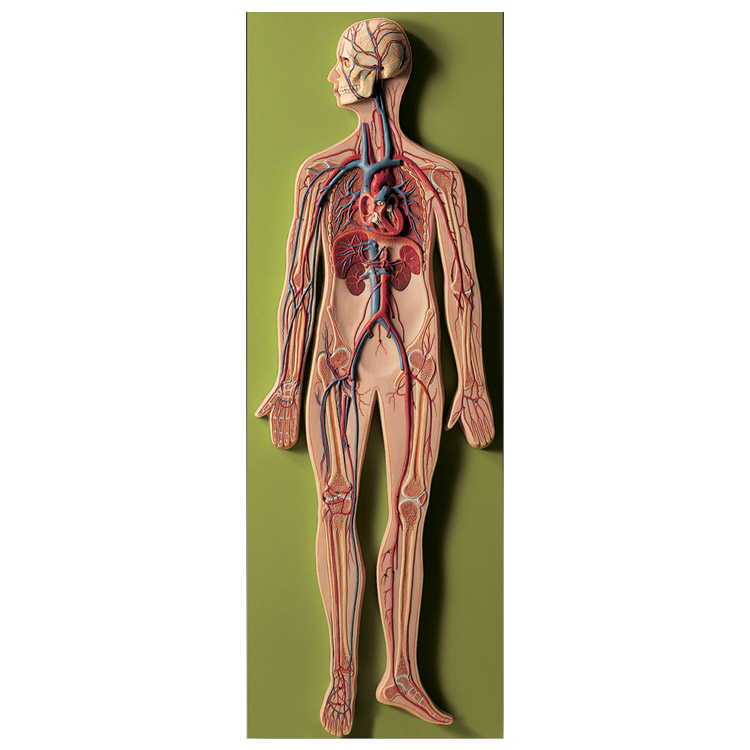 Anatomy And Physiology 13127296 furthermore Smith and McGee 27s Pig Lab in addition Benefits Camomile Tea as well Circulatory System Model 12 Life Size further Copy Of Exploratory Laparotomy Stromal Tumor. on hand circulatory system