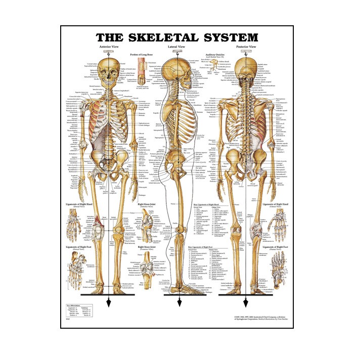 picture about Printable Skeletal System called The Skeletal Approach 20\