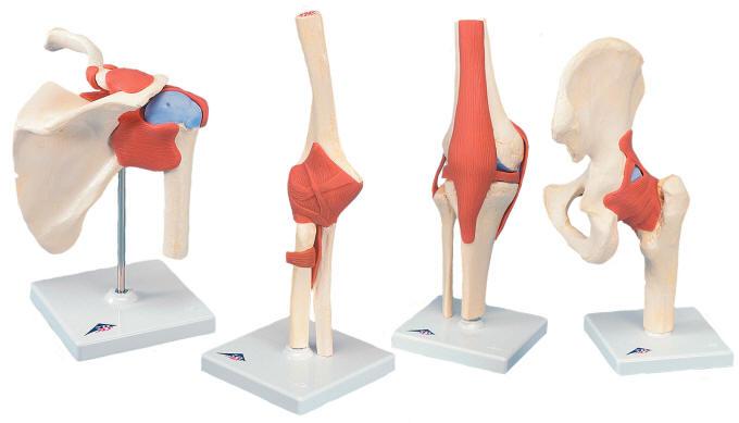 Functional joint model set shoulder knee hip elbow medwest functional joint model ccuart Images