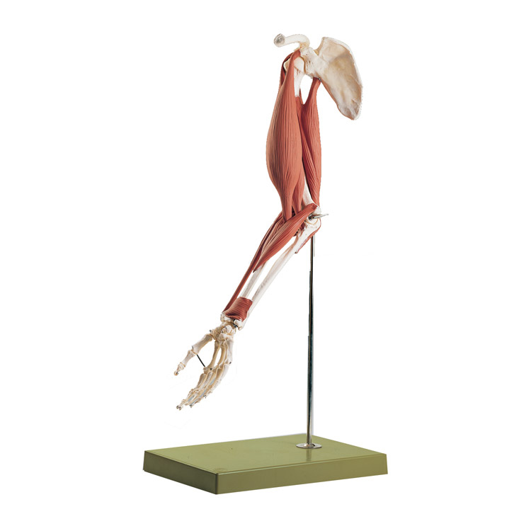 Life-Size Skeletal Musclar Model of the Arm - MedWest Medical Supplies