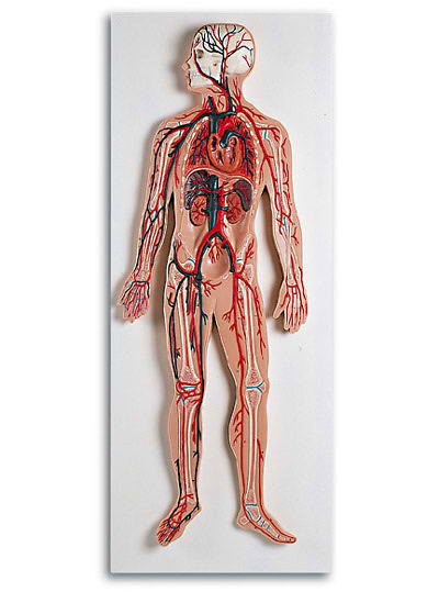 Human Circulatory System Model 2 Parts, 1/2 Life Size - MedWest ...
